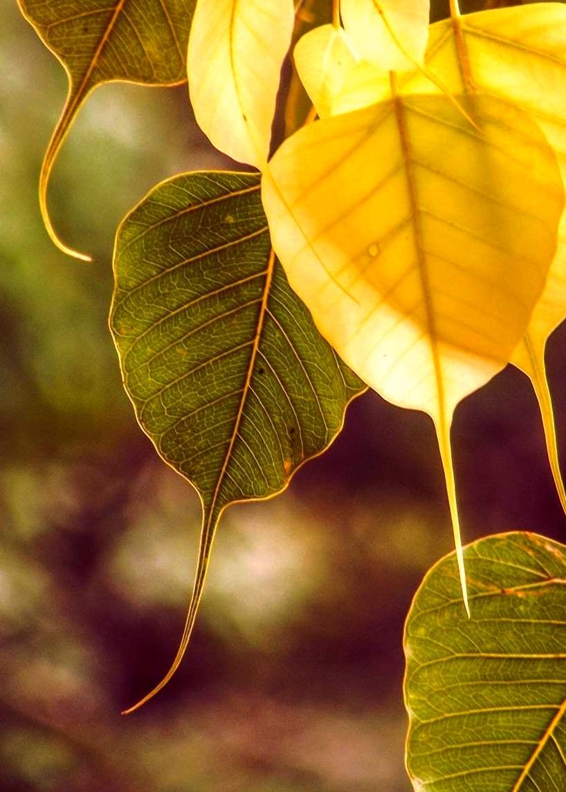 new-bodhi-leaf